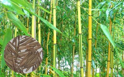 Аыращиваниебамбука как бизнес