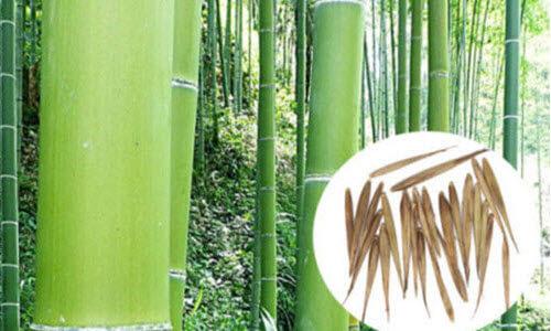 семена бамбука купить екатеринбург