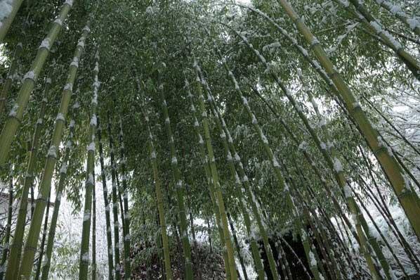 bambuk v dekorativnom ozelenenii zimoj