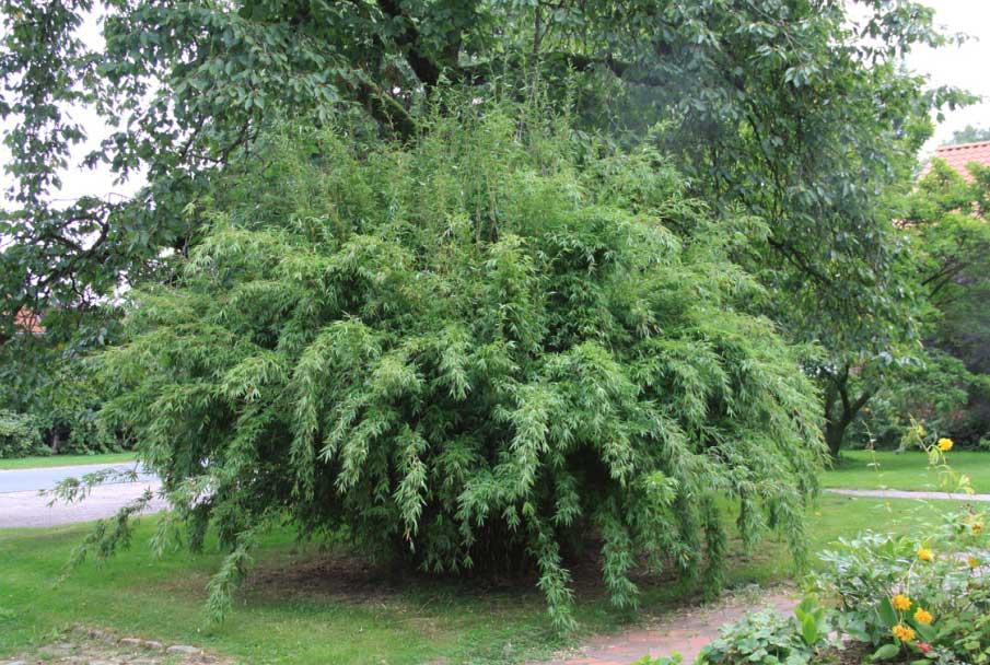 Морозостойкий бамбук Fargesia denudata 'Lancaster 1'