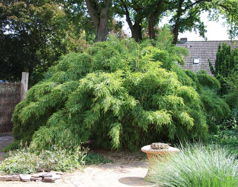 Морозостойкий бамбук Fargesia murielae 'Jumbo'