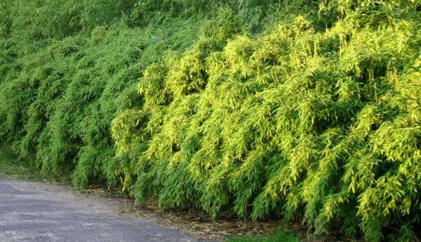 Морозостойкий бамбук Fargesia murielae 'Simba'