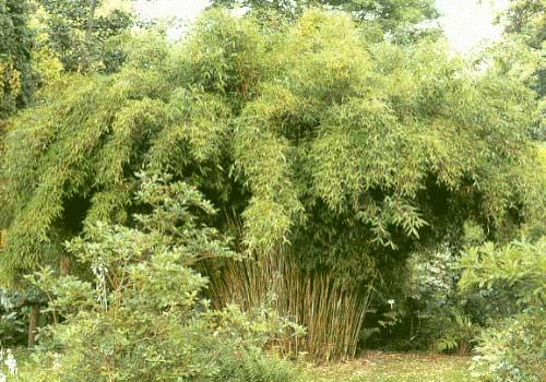 Морозостойкий бамбук Fargesia Murielae