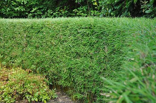Морозостойкий бамбук Fargesia Murieliae 'Green Hedge'