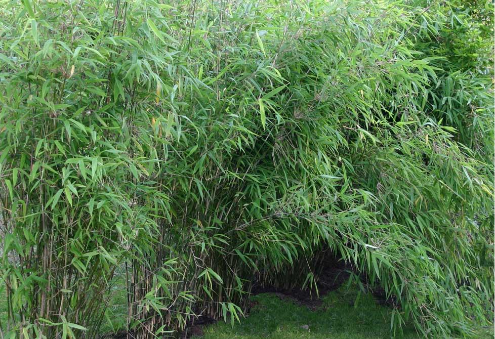 Морозостойкий бамбук Fargesia Nitida 'Creat Wall'