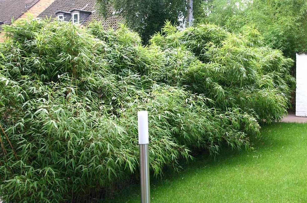 Морозостойкий бамбук Fargesia rufa