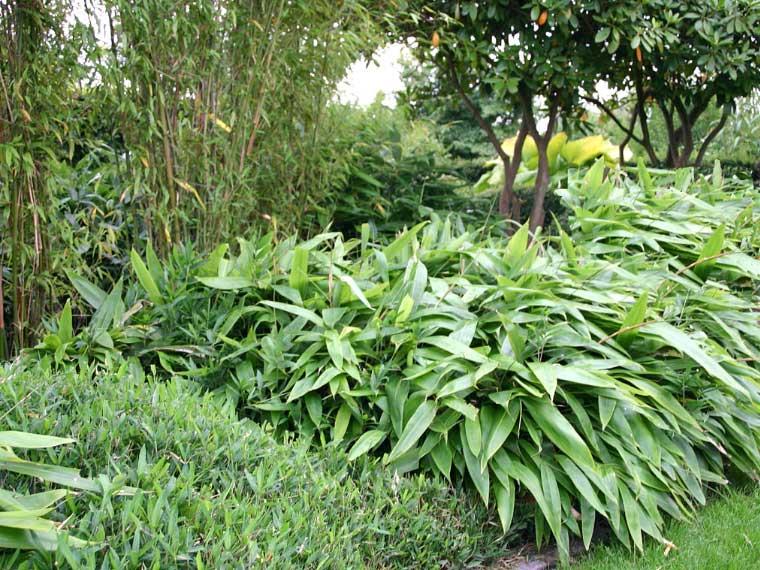 Морозостойкий бамбук Indocalamus tesselatus
