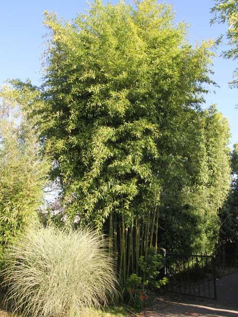 Морозостойкий бамбук Phyllostachys atrovaginata 'Green Perfume'