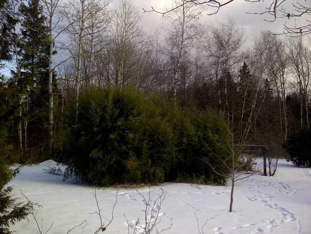 Морозостойкий бамбук Phyllostachys aureosulcata 'Alata'