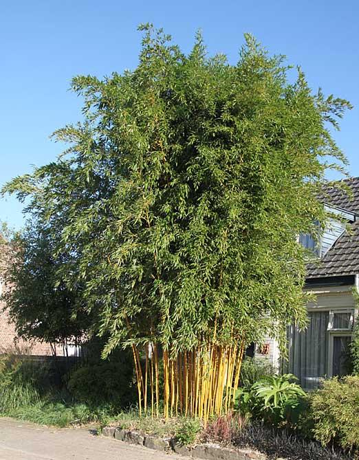 Морозостойкий бамбук Phyllostachys aureosulcata 'Aureocaulis'