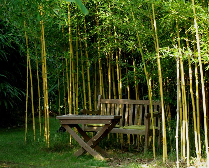 Морозостойкий бамбук Phyllostachys aureosulcata 'Spectabilis'