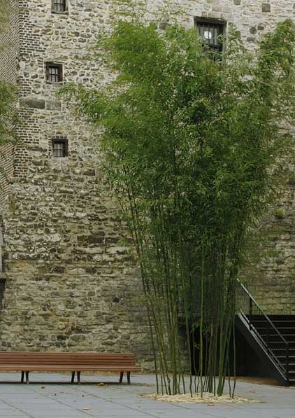 Морозостойкий бамбук Phyllostachys aureosulcata