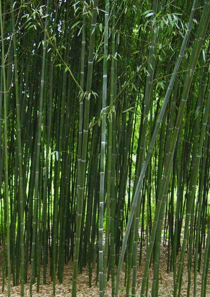 Стебли бамбука Phyllostachys Bissettii