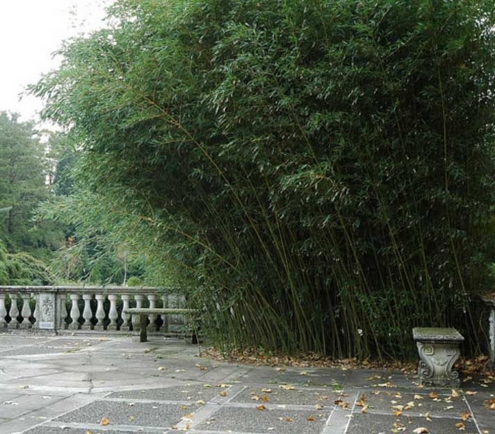 Бамбук Phyllostachys Bissettii