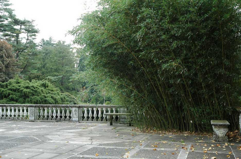 Морозостойкий бамбук Phyllostachys' bissetii'