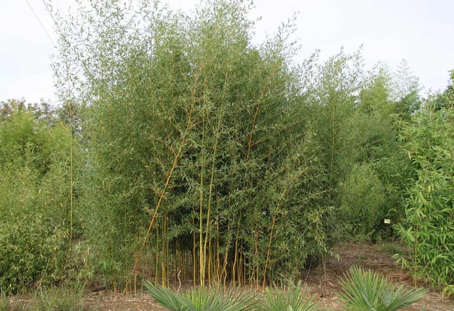 Водяной Бамбук - Water Bamboo Phyllostachys Heteroclada Oliver