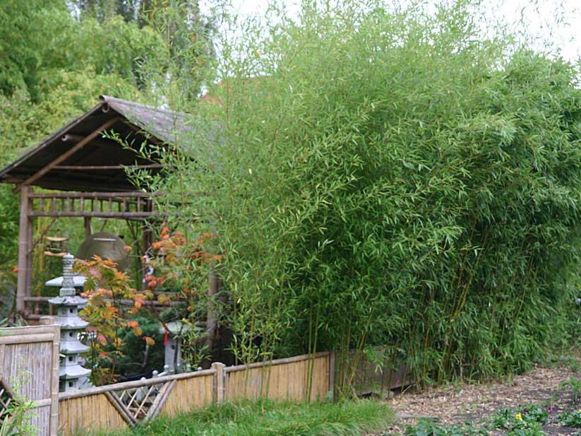 Морозостойкий бамбук Phyllostachys humilis