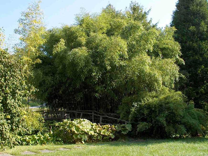 Морозостойкий бамбук Phyllostachys nuda