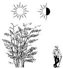 Высокий бамбук Phyllostachys Aurea