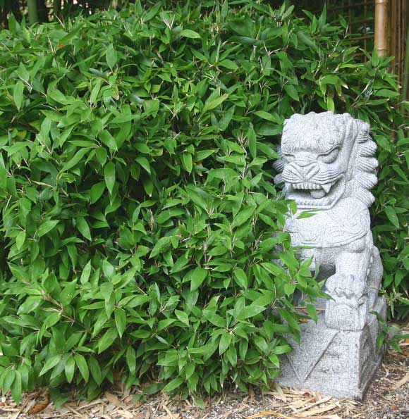 Морозостойкий бамбук Shibataea kumasaca
